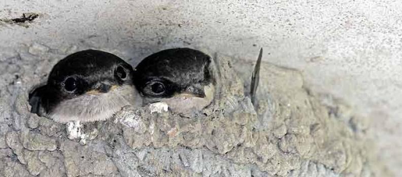 Cómo retirar los nidos de golondrina en una comunidad de propietarios